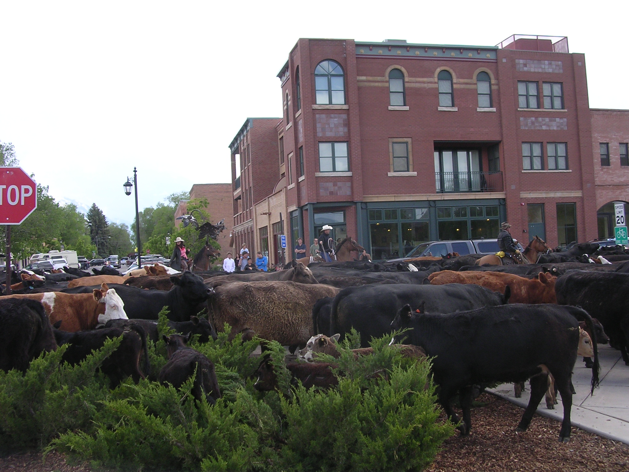 Cattle Drive in Carbondale